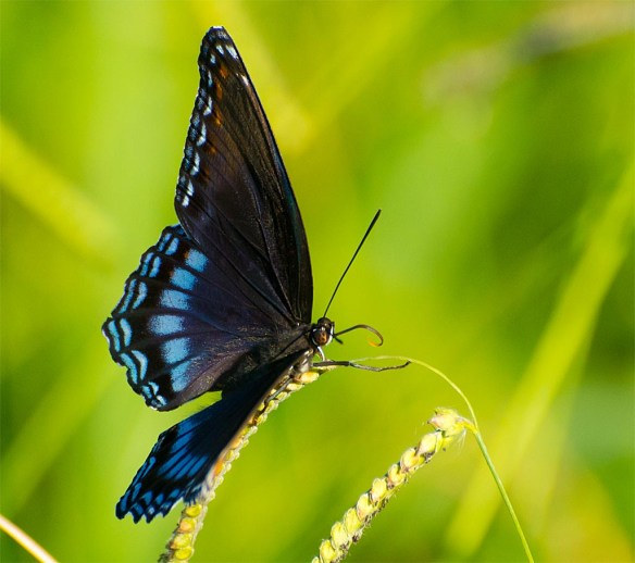 Red Spotted Purple 7