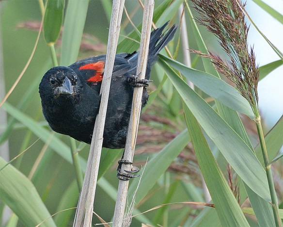Red Winged Blackbird 2016-55