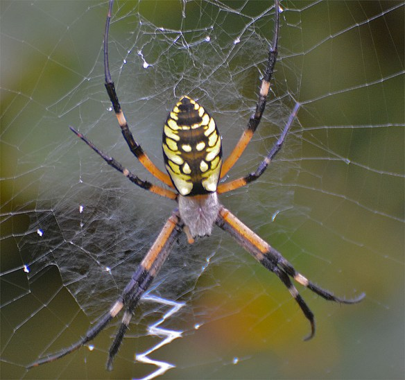 Spider 272