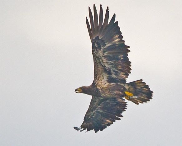 bald-eagle-2016-72