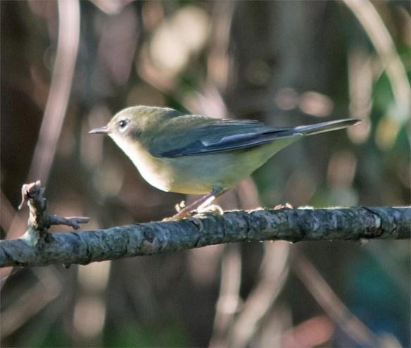 black-throated-blue-warbler-2016-2