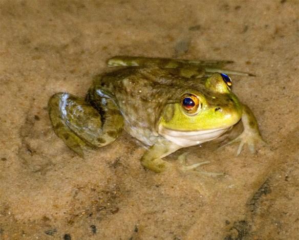 bullfrog-9