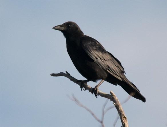 crow-2016-15