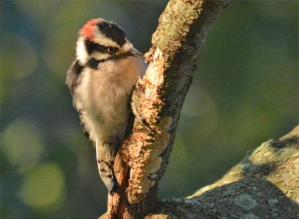 downy-woodpecker-2016-9