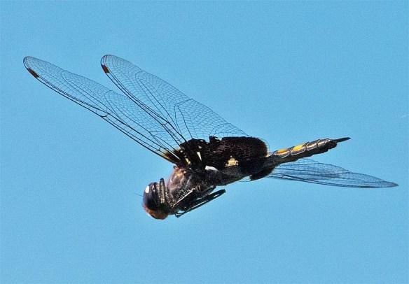 dragonfly-97