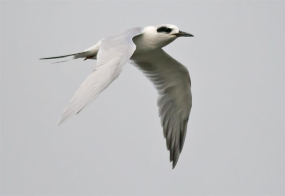 forsters-tern-2016-32