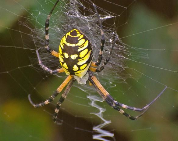 garden-spider-2