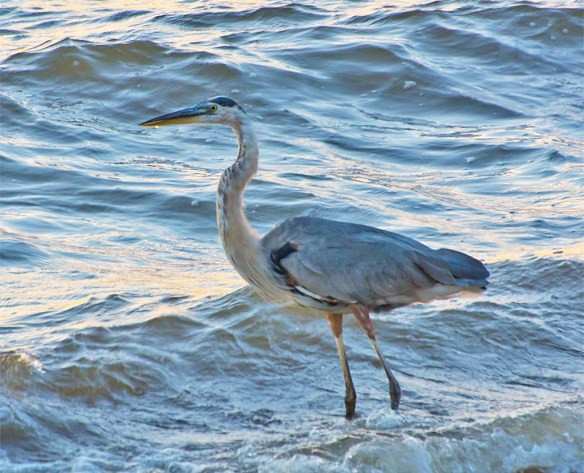 Great-blue-heron-2016-73