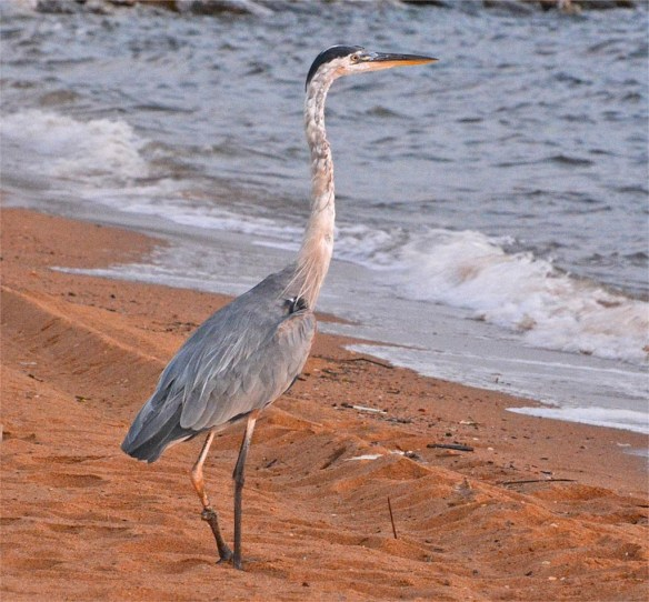 great-blue-heron-2016-74