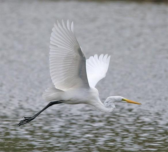 great-egret-2016-65