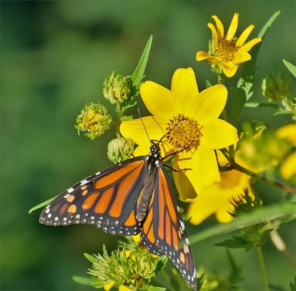 monarch-37