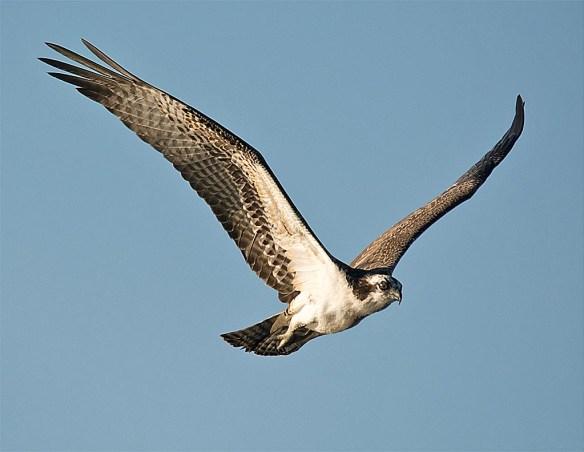 osprey-2016-128