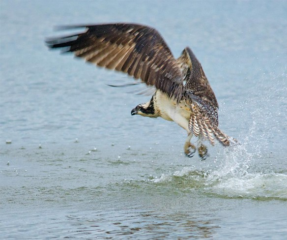 osprey-2016-131