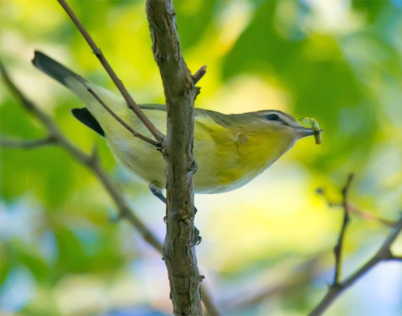 red-eyed-vireo-2016-9