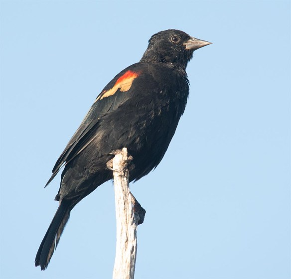 red-winged-blackbird-2016-56