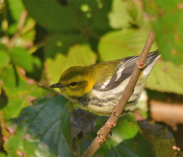 black-throated-green-warbler-2016-1
