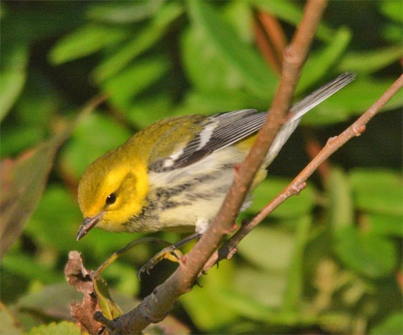 black-throated-green-warbler-2016-2
