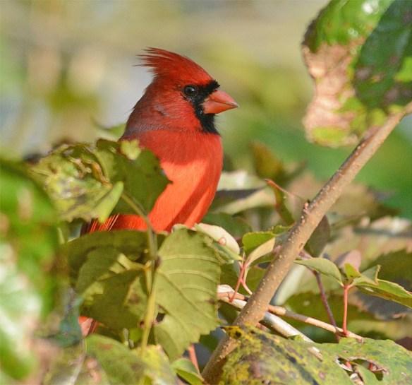 cardinal-2016-26