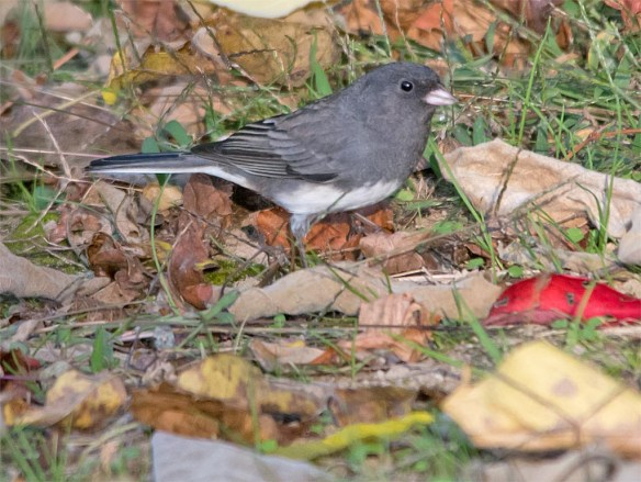 dark-eyed-junco-2016-10