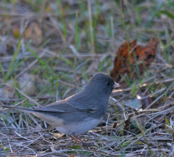 dark-eyed-junco-2016-6