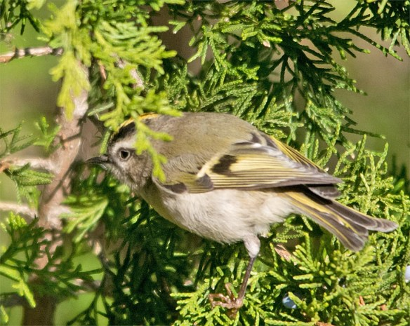 golden-crowned-kinglet-2016-1
