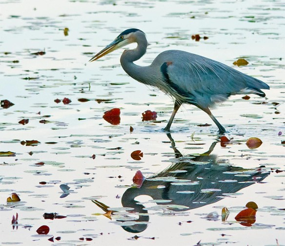 great-blue-heron-2016-84