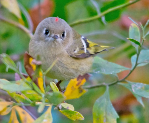 ruby-crowned-kinglet-2016-5
