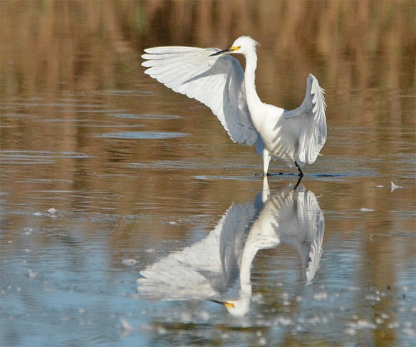 snowy-egret-2016-137