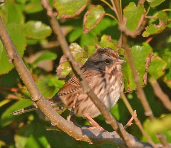 song-sparrow-2016-11