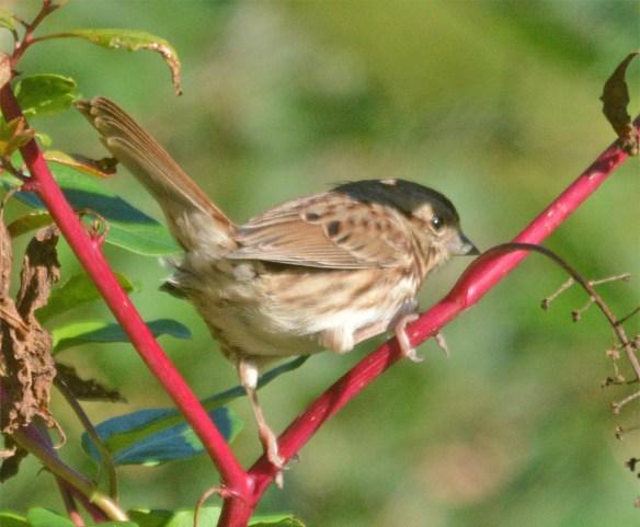 song-sparrow-2016-12