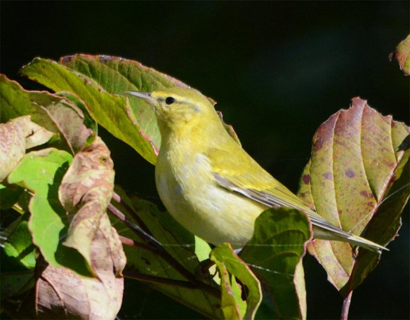 tennessee-warbler-2016-4