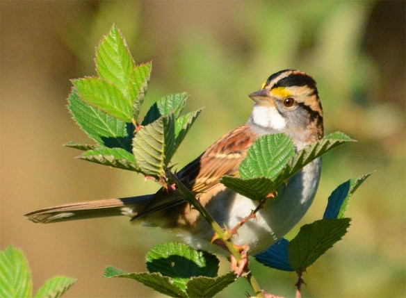 white-throated-sparrow-2016-14