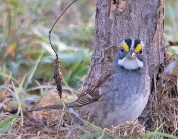 white-throated-sparrow-2016-16