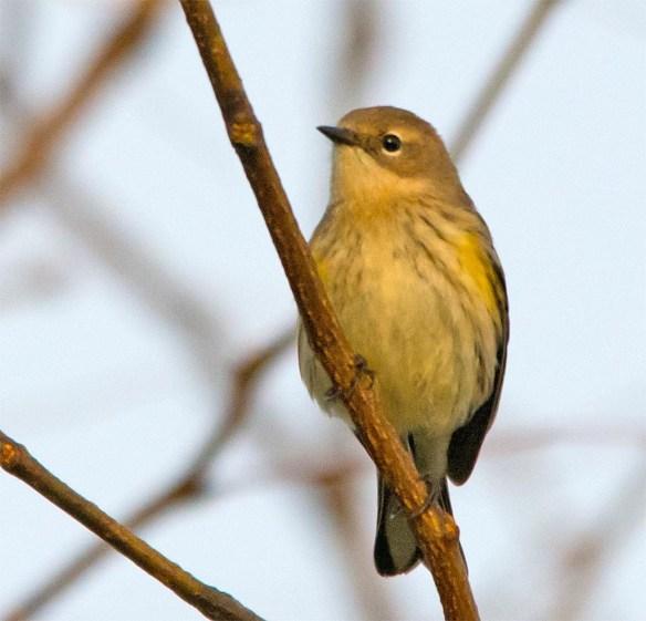 yellow-rumped-warbler-2016-24