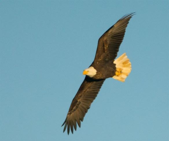 bald-eagle-2016-94