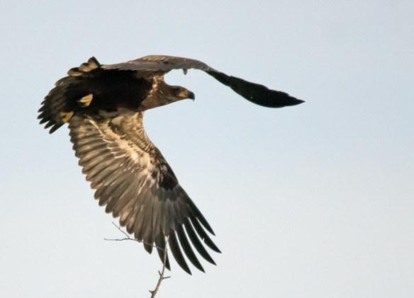 bald-eagle-2016-97