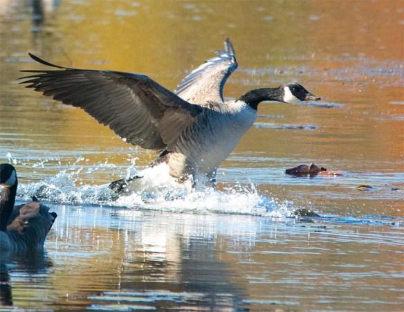 canada-goose-2016-39