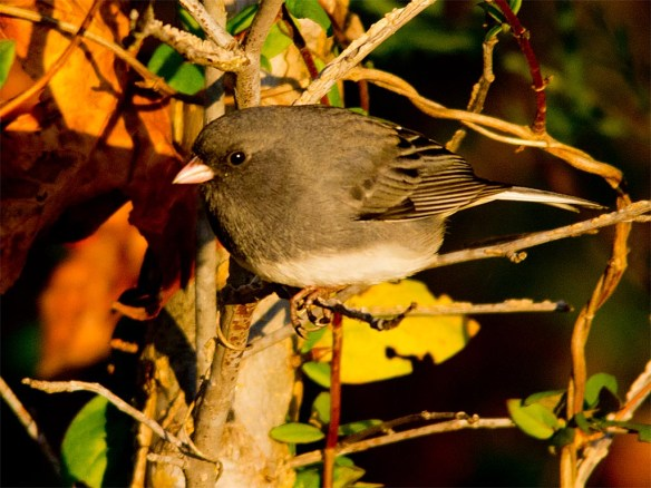 dark-eyed-junco-2016-13