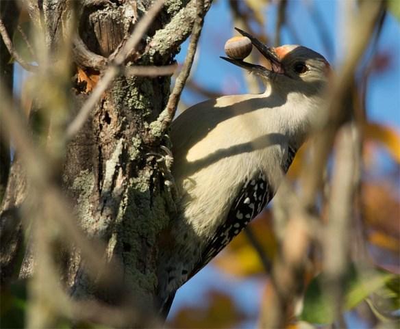 downy-woodpecker-2016-11