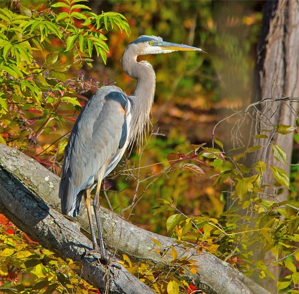 great-blue-heron-2016-90