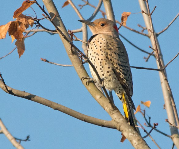 northern-flicker-2016-22