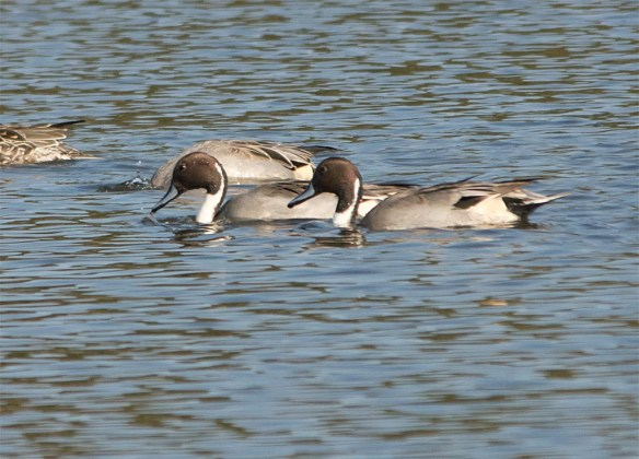 northern-pintail-2016-10