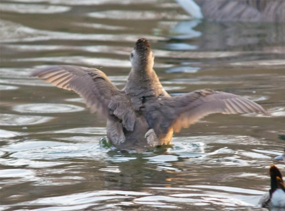 ruddy-duck-2016-23