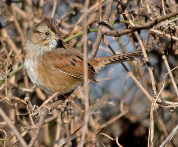 swamp-sparrow-2016-10