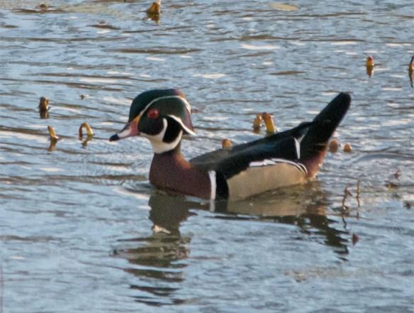 wood-duck-2016-155