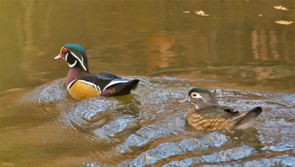 wood-duck-2016-162
