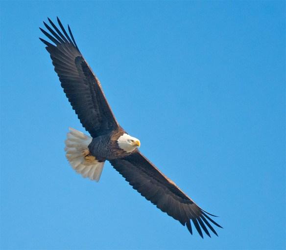 bald-eagle-2016-108