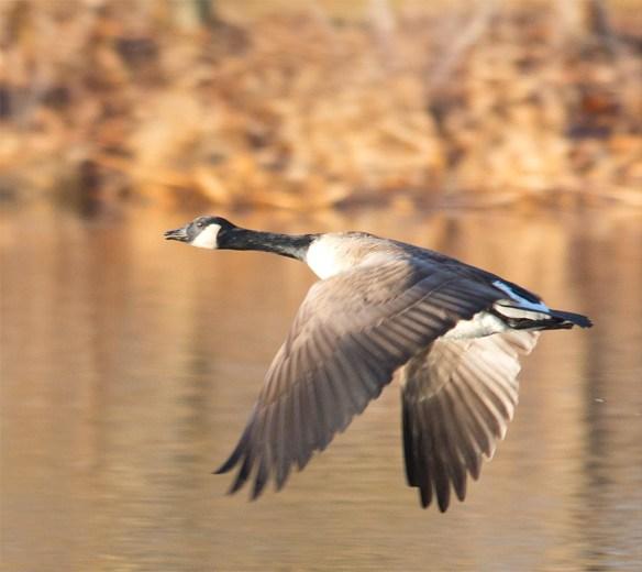 Canada Goose 2016-45