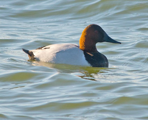 Canvasback 2016-22