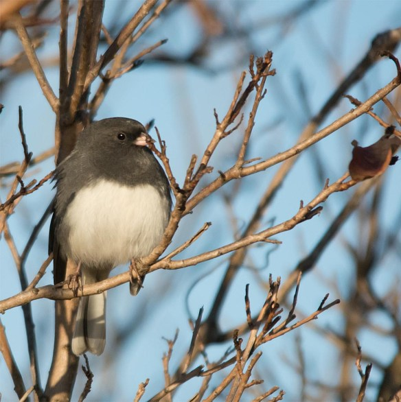 dark-eyed-junco-2016-14